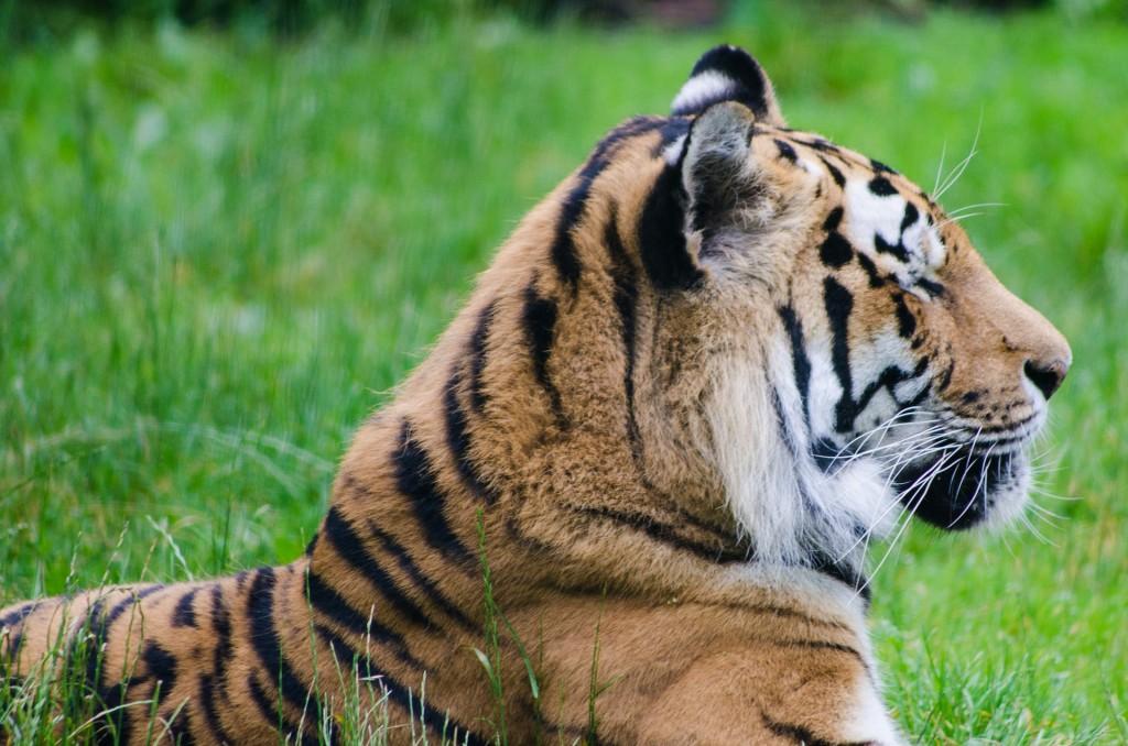 tiger-2463147_1920